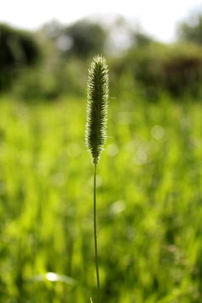 Timothy Grass Allergy Symptoms And Diagnosis Allergy
