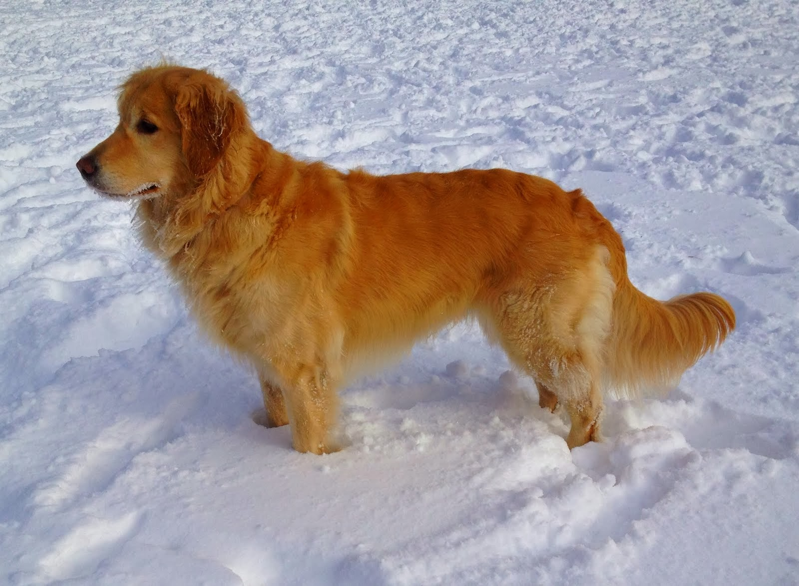 7 Golden Retriever Allergies And Side Effects Allergy